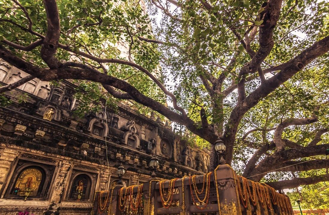 bodhi-tree-arbre-sacre